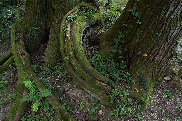 松の巨木とうねる根