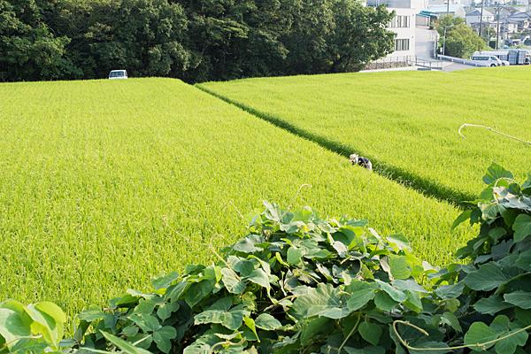 田んぼの草むしり中