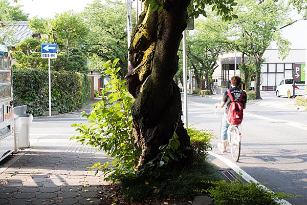 夏の桜木と自転車の青年