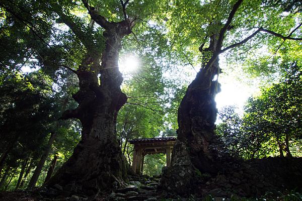 菅山寺の大欅