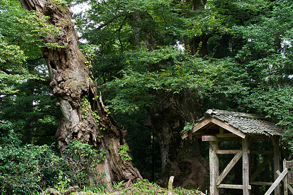 山門と大ケヤキ