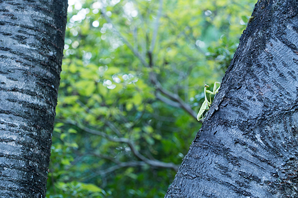 桜の木にカマキリ