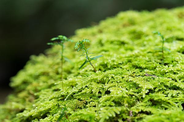 苔と杉の芽