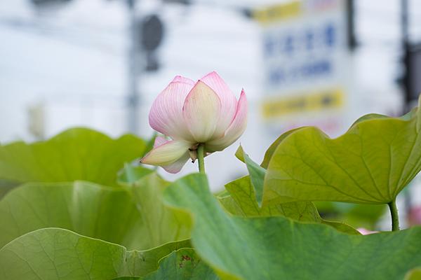ハスの花のつぼみ