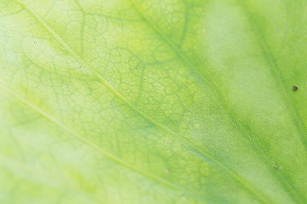 ハスの葉の葉脈