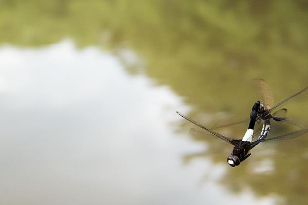 交尾飛行のコシアキトンボ