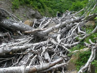 左沢下流の倒木帯