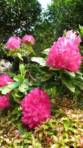 シャクナゲの花が綺麗だった♡