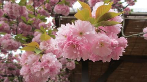 八重桜が満開で綺麗でした。
