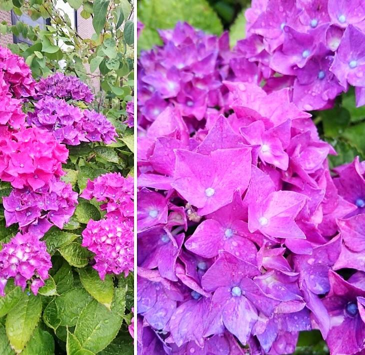 160620紫陽花