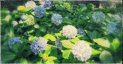 紫陽花@公園
