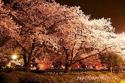 夜桜20161