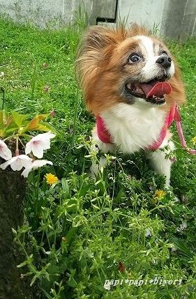 桜あったよー★ぱぴ
