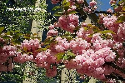 満開の八重桜★2016