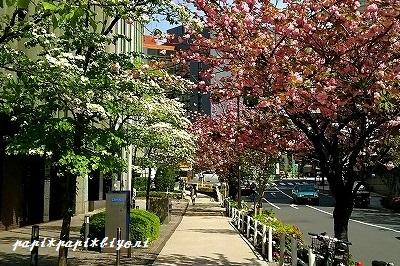花みずきと八重桜