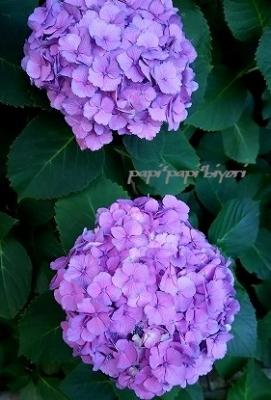紫陽花★2016