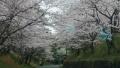 20160404桜並木1