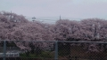 20160404桜並木2