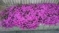 20160409芝桜ピンク