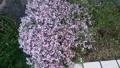 20160409芝桜むらさき
