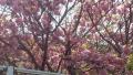 20160419八重桜