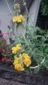 20160509黄色の花