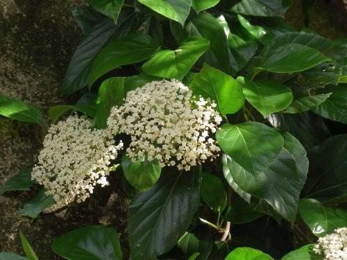 R0019063白い花ハクサンボク?花と照りのある葉_500
