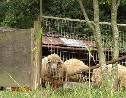 20160814-sheep.jpg