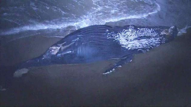 Humpback whales201607-01