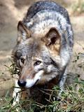オオカミ,おおかみ,ウルフ,狼,Wolf,ヤマイヌ