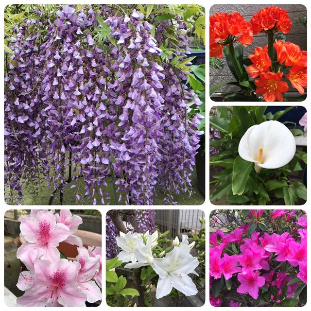 庭の花々2016年5月
