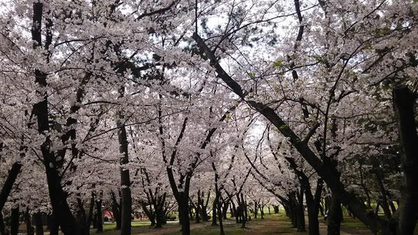 浜寺公園桜1