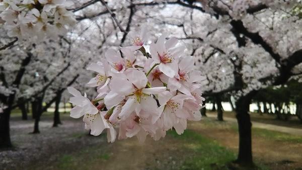 浜寺公園桜3