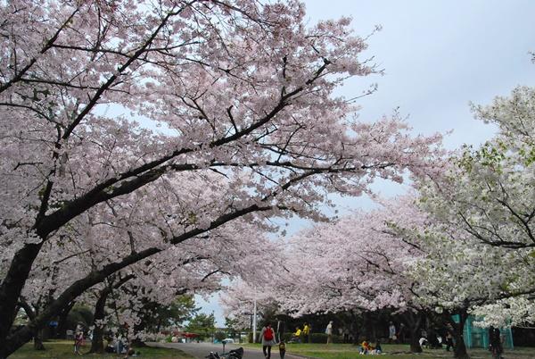 公園の桜ソメイヨシノとオオシマザクラ