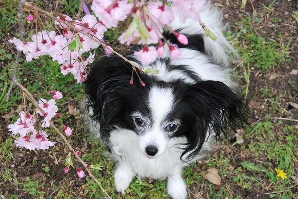 枝垂れ桜とルビー