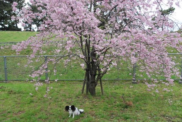枝垂れ桜とルビー2
