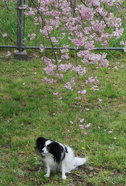 枝垂れ桜とルビー3