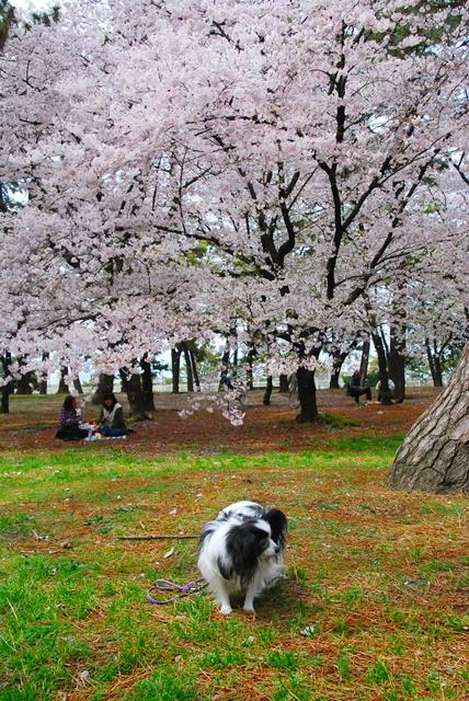 大きな桜をバックに