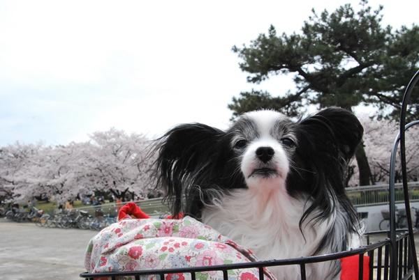 噴水前の桜をバックに2