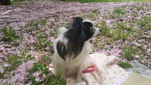 ピンクの絨毯とルビー2