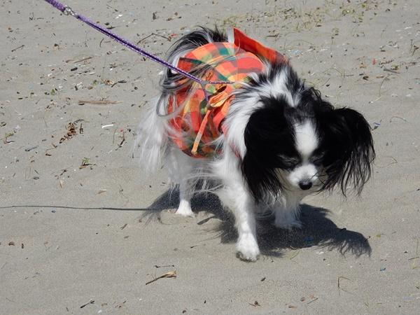 砂浜を歩くルビー2