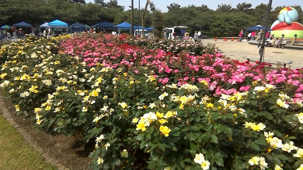 バラの花壇1