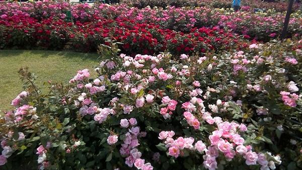 バラの花壇2