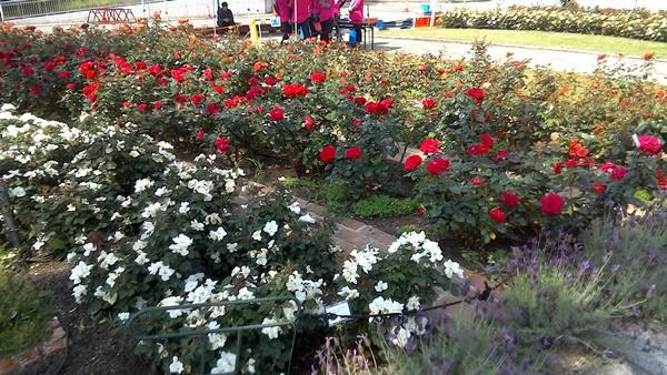 バラの花壇3