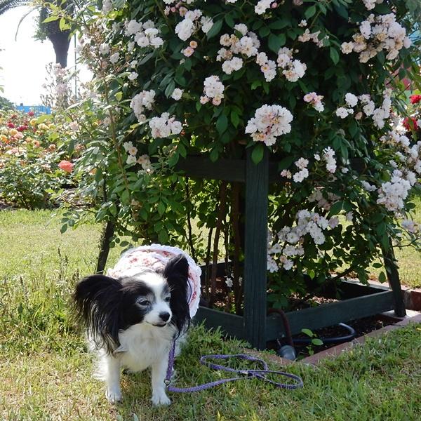 バラのツリーと