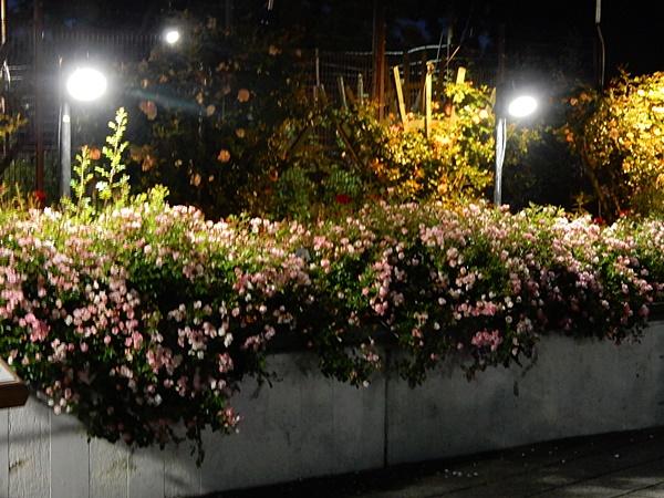 ばら庭園外壁のバラ