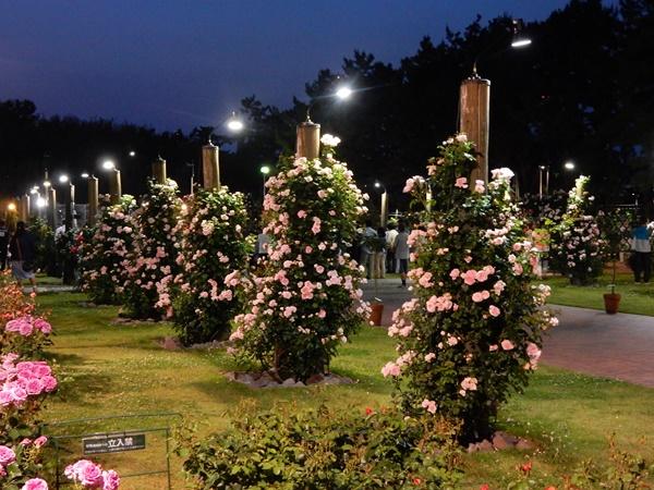 庭園のバラ1
