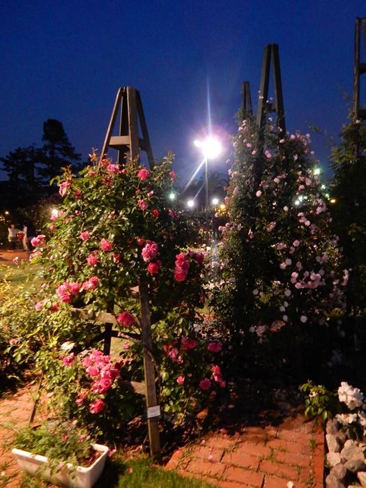 庭園のバラ2