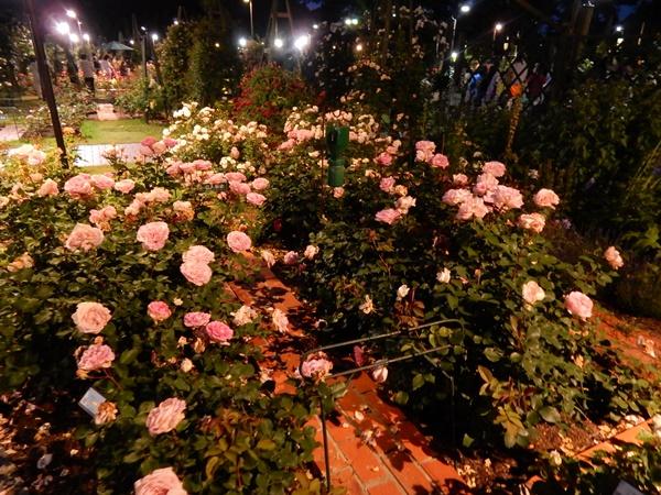庭園のバラ3