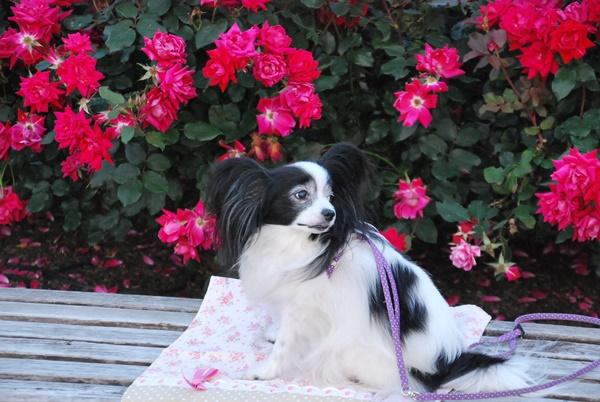 ローズピンクのバラとルビー